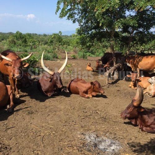 Uvira: plus de 50 vaches pillées par le FNL de Nzabampema (Administration)