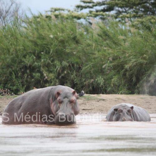 Tanganyika : un bilan lourd des victimes des hypopotammes