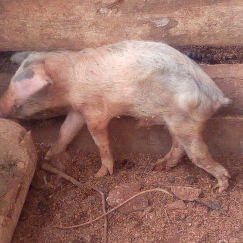 Kirundo : plus de 200 porcs sont morts en moins de cinq mois