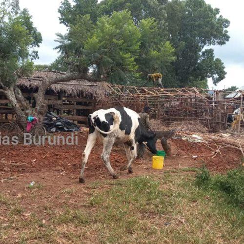 Makamba : le commissaire provincial de la police rançonne des éleveurs et veut les déloger en même temps