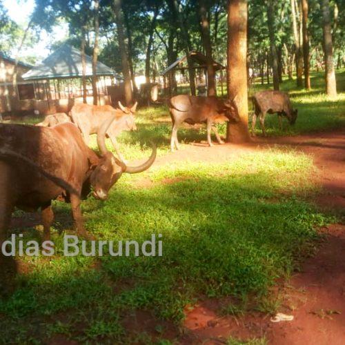 Nduta (Tanzanie) : interdiction d'élevage au camp