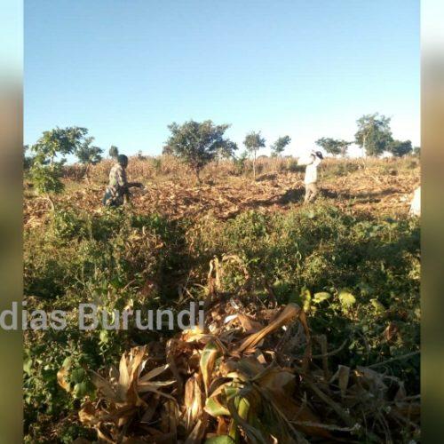 Dzaleka (Malawi) : l'heure est à récolte