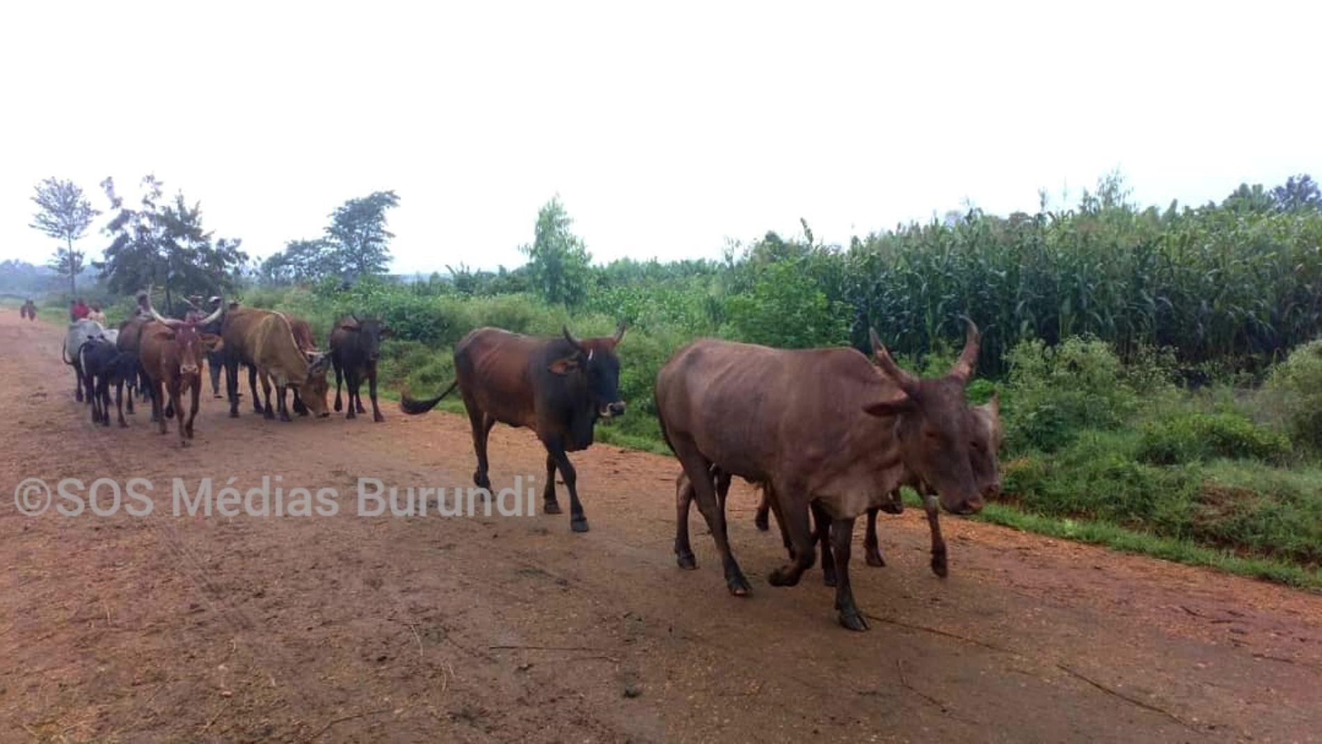 Burundi : une mesure de stabulation qui déçoit les éleveurs